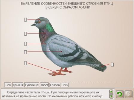 внешнего строения птиц в